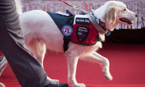 Becoming a Service Dog: Training and Temperament Are Key Factors