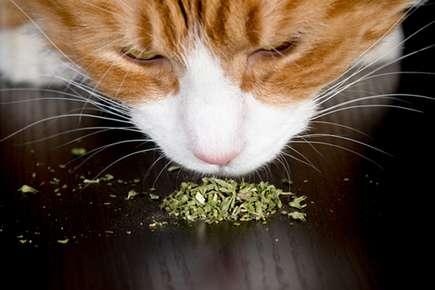Catnip: Why Cats Love It