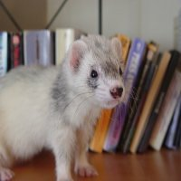 Ferrets Can Be Furry Family Too