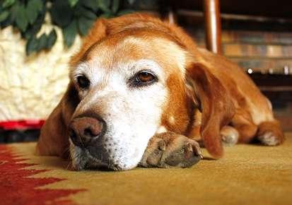 Vertigo or Old Dog Vestibular Syndrome
